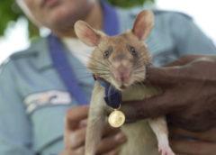 Впервые в истории высшую награду Великобритании получила… героическая крыса!